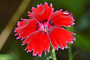 Фото Гвоздики Крупным планом Красный Цветы