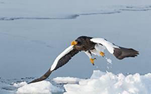 Фото Птицы Ястреб Белоголовый орлан Снегу Steller's sea eagle Животные