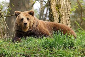 Фото Медведь Гризли Траве Животные
