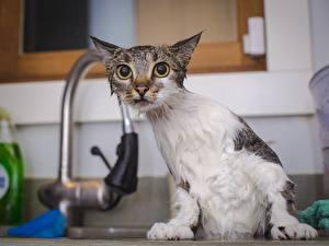 Картинки Кошки Мокрые Кран водопроводный Взгляд Животные