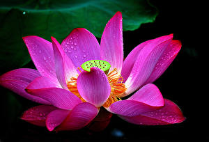 Фотография Лотос Вблизи Капельки Розовая Цветы