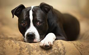 Фотографии Собаки Щенка Смотрят Амстафф Животные