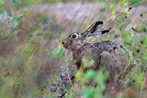 Фотография Зайцы Brown Hare Животные