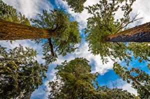 Обои Леса Деревья Ствол дерева Вид снизу Природа фото