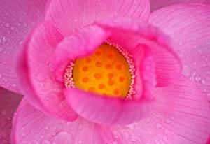 Фотография Лотос Крупным планом Розовый Капли Цветы