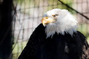 Обои Птицы Ястреб Белоголовый орлан Клюв