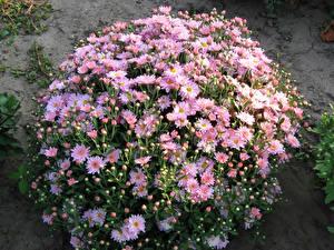 Картинки Хризантемы Много Розовых Цветы