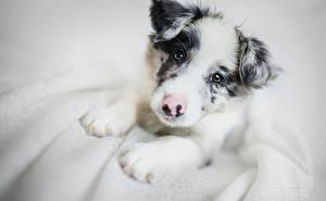 Картинки Собаки Бордер-колли Щенок Смотрит Животные