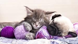 Картинки Собака Кошки Щенков Котенка Мопс Двое Животные