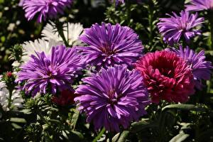 Фотография Астры Крупным планом Фиолетовых цветок