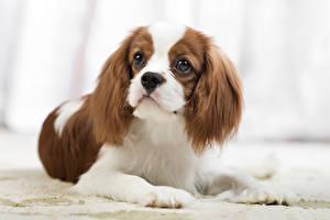 Картинка Собаки Спаниель Взгляд Кинг чарльз спаниель