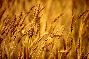 Обои Поля Крупным планом Пшеница Колосок bearded barley Природа