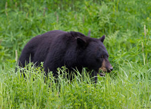 Картинка Медведи Бурые Медведи Трава Животные