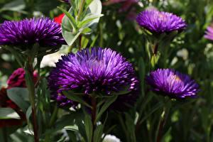 Обои Астры Крупным планом Фиолетовый цветок