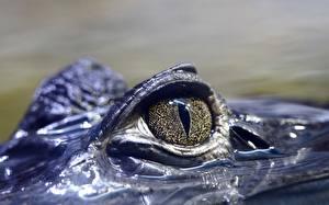 Картинка Крокодил Глаза Вблизи животное