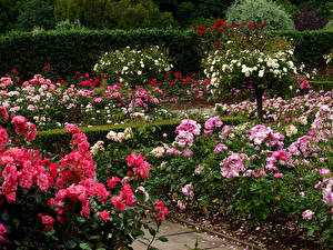 Обои Англия Сады Роза Много Кусты Rosemoor Devon  Rose Garden Цветы Природа