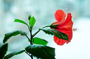 Фотографии Гибискусы Листва Цветы