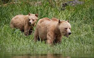 Картинка Медведь Гризли Траве Две животное
