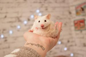 Обои Хомяки Грызуны Белый Татуировки Руки Животные фото