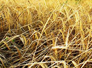 Обои Крупным планом Пшеница Колосок Природа