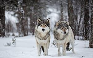 Картинка Волк Зима Снега 2 животное
