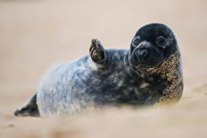 Картинки Тюлени Лапы