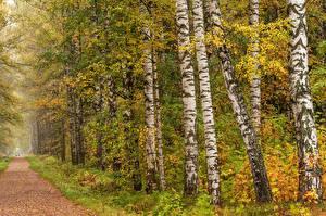 Обои Россия Санкт-Петербург Осень Парки Березы Тропа Pavlovsk Природа фото