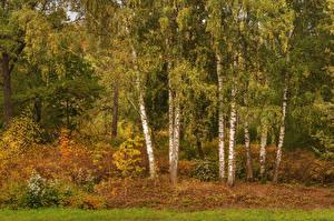 Обои Россия Санкт-Петербург Осень Парки Березы Деревья Pavlovsk Природа фото