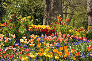 Фотография Германия Парки Тюльпаны Рябчик Гиацинты Mainau Цветы Природа