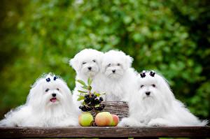 Картинка Собаки Яблоки Мальтезе Белый Щенки Болоньез Четыре 4 животное