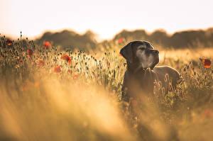 Обои Собака Луга Мак Немецкий дог Животные