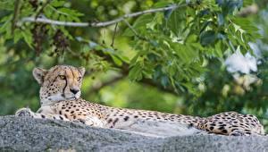 Фотографии Большие кошки Гепарды Животные