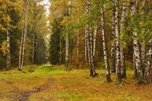 Обои Россия Санкт-Петербург Парки Осень Березы Деревья Pavlovsk Природа фото