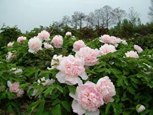 Картинка Сады Пионы Кусты Розовый Цветы