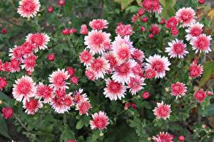 Картинки Хризантемы Розовый Бутон Цветы
