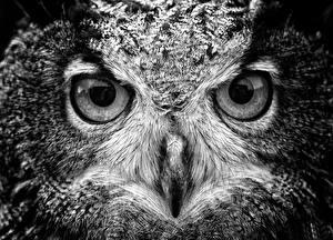 Фотография Совообразные Птица Глаза Смотрят Клюв животное