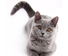 Фотографии Кот Глаза Серый Смотрят животное