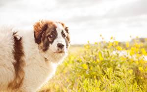Картинка Собаки Поля животное