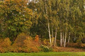 Обои Россия Санкт-Петербург Леса Осень Березы Деревья Кусты Pavlovsk Природа фото