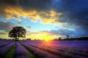 Фото Пейзаж Поля Рассветы и закаты Небо Лаванда Деревья Облака Лучи света Природа Цветы