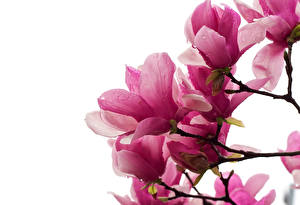 Фотография Магнолия Розовые На ветке Белый фон