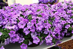 Фотография Петунья Много Фиолетовый Цветы