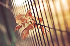 Картинка Вблизи Дуб Листья Забор