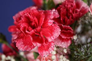 Картинка Гвоздики Вблизи Розовые Капельки цветок