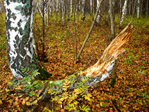 Обои Осень Леса Ствол дерева Березы Деревья Природа фото