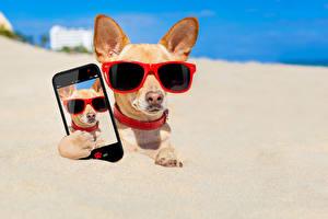 Картинка Собака Чихуахуа Очки Смартфон Песок Селфи животное