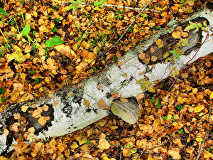 Обои Осень Ствол дерева Березы Листья Природа фото