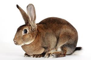 Обои Кролики Крупным планом животное