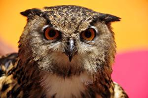 Картинка Совообразные Птица Глаза Взгляд Животные