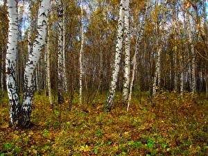 Обои Осень Леса Деревья Березы Природа фото